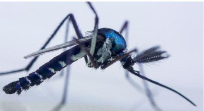 O mosquito Haemagogus é o transmissor da febre amarela silvestre no Brasil Reprodução/Portal Fiocruz