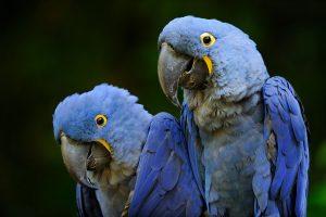 Read more about the article Ovos desta ave brasileira valem ouro no mercado ilegal da Europa. Veja por que