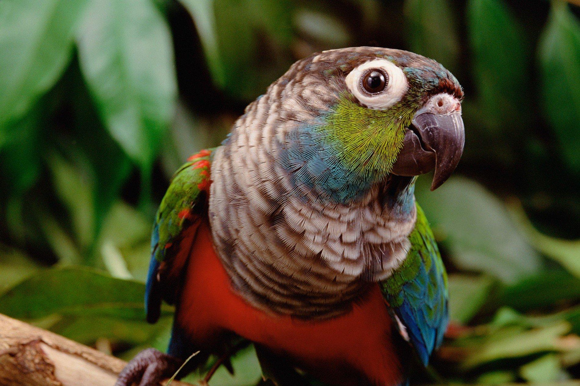 A tiriba-de-barriga-vermelha é uma entre as 1,5 mil espécies de aves encontradas na Floresta Amazônica. Com os incêndios se alastrando em uma escala sem precedentes, as implicações para a vida selvagem podem ser graves. FOTO DE CLAUS MEYER, MINDEN PICTURES/NAT GEO IMAGE COLLECTION