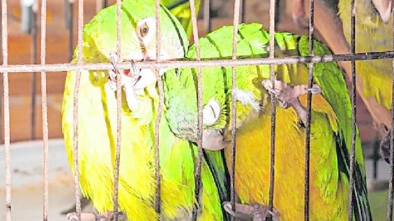 Espécies presas na 'Operação Serra das Almas', em 2018. Os pássaros são alvos de contrabando