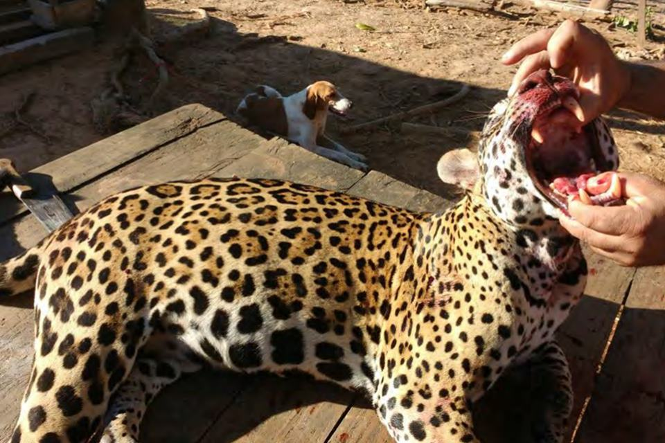 Read more about the article Suspect said to boast he killed over 1,000 jaguars