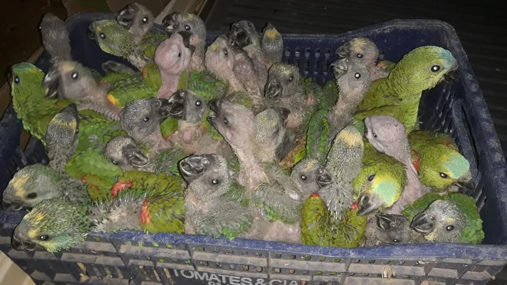Aves estavam em caixas dentro do porta-malas do carro — Foto: Polícia Militar/Divulgação