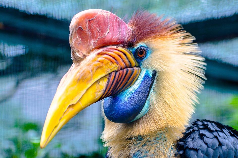 O calau- de-capacete é um dos animais ameaçados (Foto: Pixabay)
