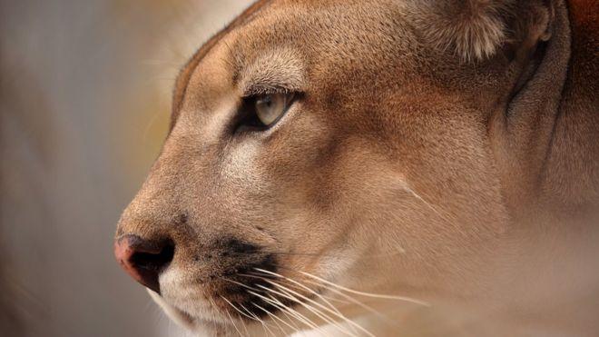 ROLAND BRACK/GETTY IMAGES Image caption A onça-parda da Caatinga é uma das espécies da região que está ameaçada de extinção